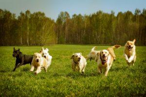 large group of dogs Golden retrievers running bahnhofgamburg-ferienwohnung-holidayhome-wuerzburg-würzburg-aschaffenburg-rothenburg-ob-der-tauber-liebliches-taubertal-franken-franconia-urlaub-mit-hund-hunden-travel-dog-dogs-haustieren-katzen-pets-kindern-children